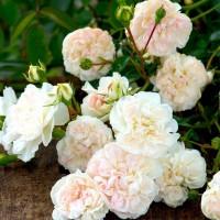 Розы почвопокровные (Imperial Rose)