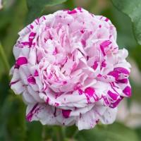 Бурбонские розы