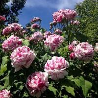Бурбонские розы (ОКС)