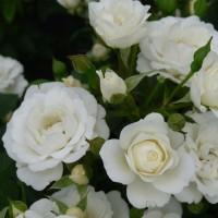 Роза миниатюрная Уайт Джем