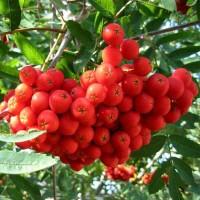 Рябина плодовая Вефед