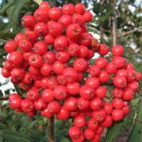 Рябина плодовая Алая крупная