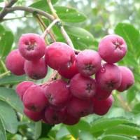 Рябина плодовая Гранатная