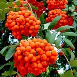 Рябина плодовая Невежинская