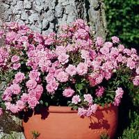 Роза миниатюрная Шугар Бэби