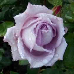 Роза чайно-гибридная Си-си
