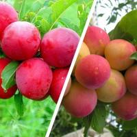 Дерево-сад Слива китайская Красный шар - Скороплодная