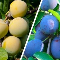Дерево-сад Слива Ренклод колхозный - Яичная синяя