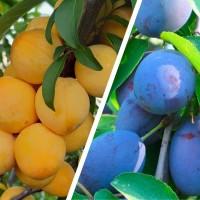 Дерево-сад Слива Утро - Яичная синяя