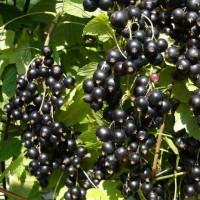 Смородина черная Деликатесная