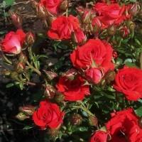 Роза спрей Бордовый