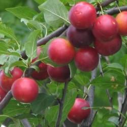 Сливово-вишневый гибрид Бета (СВГ)