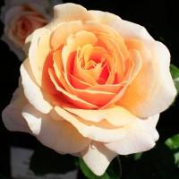 Роза чайно-гибридная Свит Леди