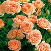 Роза флорибунда Свит Дрим