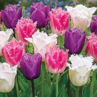 Тюльпаны бахромчатые (луковицы)