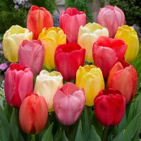 Тюльпаны Дарвиновы гибриды (луковицы)