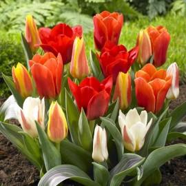 Тюльпаны Грейга (луковицы)