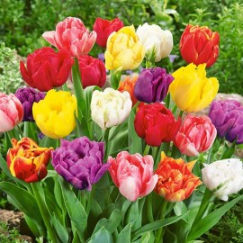 Тюльпаны махровые ранние (луковицы)