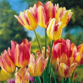 Тюльпаны многоцветковые (луковицы)