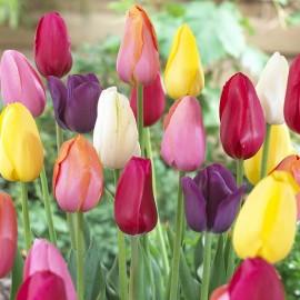 Тюльпаны простые поздние (луковицы)