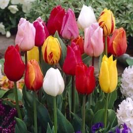 Тюльпаны простые ранние (луковицы)