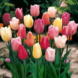 Тюльпаны Триумф (луковицы)