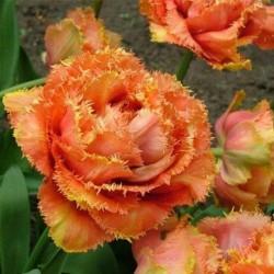 Тюльпан Аркада бахромчатый