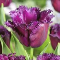 Тюльпан Горилла бахромчатый