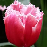 Тюльпан Канаста бахромчатый