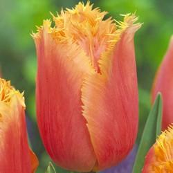 Тюльпан Ламбада бахромчатый