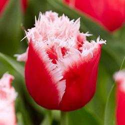 Тюльпан Нью Санта бахромчатый