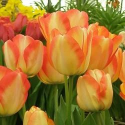 Тюльпан Американ Дрим Дарвиновы гибриды