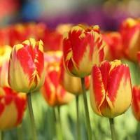 Тюльпан Баня-Лука Дарвиновы гибриды
