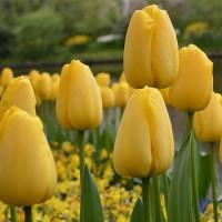 Тюльпан Голден Парад Дарвиновы гибриды