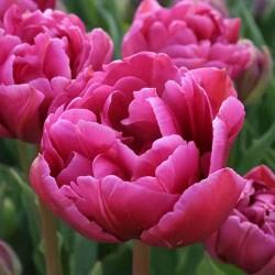 Тюльпан Маргарита махровый ранний