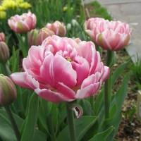 Тюльпан Мелроуз махровый ранний