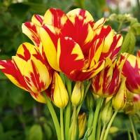 Тюльпан Аутбрейк многоцветковый (5 шт.)