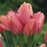 Тюльпан Драгон Кинг многоцветковый