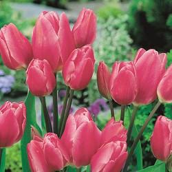 Тюльпан Хэппи Фэмили многоцветковый