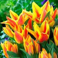 Тюльпан Виннипег многоцветковый