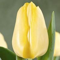 Тюльпан Санни Принц простой ранний