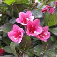 Вейгела цветущая Танго