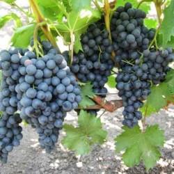 Виноград Кишмиш Черный Изумруд