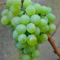 Виноград технический Кристалл