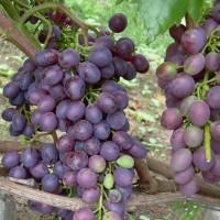 Виноград Краса Никополя