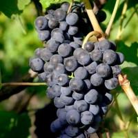 Виноград Космур