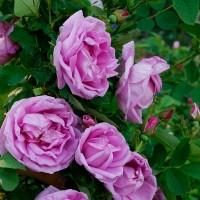 Роза канадская Васагейминг (ОКС)