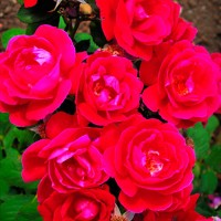 Роза шраб Виннипег Паркс