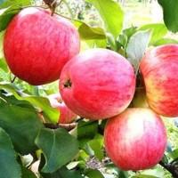 Яблоня Алое раннее