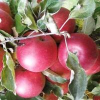 Яблоня Алтайская красавица